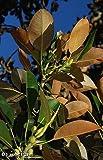 Exotic Plants Ficus elastica - rubber tree - 100 seeds