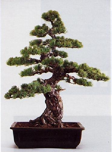 Tropica bonsai acero rosso acer rubrum 20 semi - Arce rubrum bonsai ...
