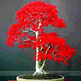 ADB Inc 100% True Japanese Red Maple Bonsai Tree Cheap Seeds