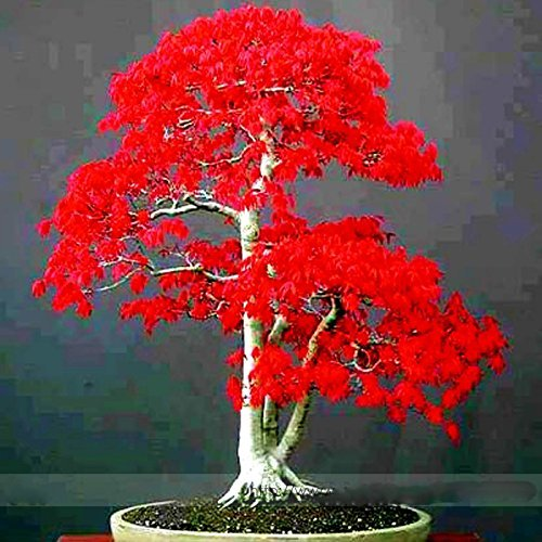 ADB Inc 100% True Japanese Red Maple Bonsai Tree Cheap Seeds (Red Bonsai Tree compare prices)