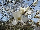 【6か月枯れ保証】【春に花が咲く木】コブシ 0.3m