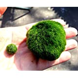LUFFY Giant Marimo Moss Ball (Approx 2 inch) with one small marimo- live aquarium aquatic plant for fish/shrimp tank discus betta decor ornament crystal red shrimp cheapest diffuser co2 sea fern java anubias pet wood rock sand driftwood monkey