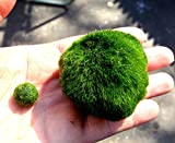 Giant Marimo Moss Ball (1.5 inch to 2 inch) X 1 + one small marimo Free!(ship from USA) Live Aquarium Aquatic Plant for Fish/shrimp Tank (USA) for discus betta decor ornament crystal red shrimp cheapest diffuser Co2 fern java Anubias where buy what is how to grow japanese japan algae aegagropila terrarium bonsai pets easy home plant air rare ada coral reef saltwater brackish EcoSphere