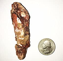 Genuine Large Spinosaurus Tooth! Very large tooth! Real Dinosaur Tooth!