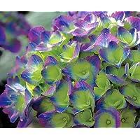Cityline Rio® Hydrangea macrophylla - Strong Blue/Purple - Proven Winner