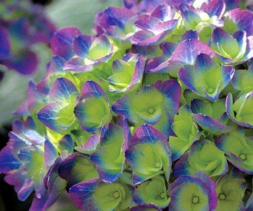 Cityline Rio Hydrangea macrophylla - Strong Blue/Purple