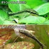 (熱帯魚)オトシンクルス(3匹) +オトシンネグロ(3匹) 本州・四国限定[生体]