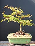 Indoorbonsaiexotics Dwarf Black Olive Bonsai Tree