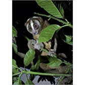 Photographic Print of Slow loris in rehabilitation centre by Ardea Wildlife Pets [並行輸入品]