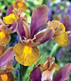 Lion King Dutch Iris 10 Bulbs - Multiply Rapidly - NEW - 8/+ cm Bulbs