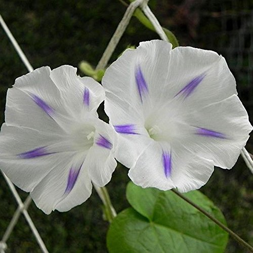 seeds-white-morning-glory-milki-vej-ipomoea-purpurea-organic-climbing-flowers