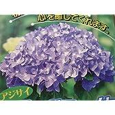 西洋紫陽花 ブルーサファイア 15cmポット