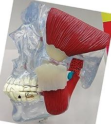 TMJ Temporomandibular Bone Joint Model