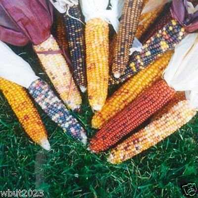 100 Seeds Miniature Colored Popcorn Seed- A Delightful Ornamental and Edible Popcorn. (Op) (Indian Corn Cobs compare prices)