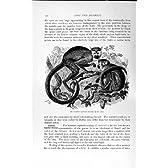 自然史 1893-94 の共通のリスザルのサル