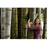 40pcs/bag bamboo seeds rare giant black moso bamboo bambu seeds professional pack Bambusa Lako tree seeds for home garden