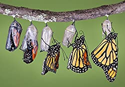 200 Seeds - Help save the Monarch Butterflies by planting Narrowleaf, Mexican Whorled Milkweed (Asclepias Fascicularis)
