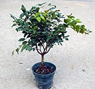 "Jabuticaba Fruit Tree Plant – Bonsai or Houseplant – 4"" Pot"