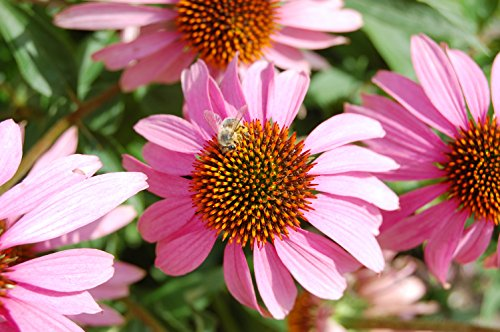 "0.5G (Approx. 90) Eastern Purple Coneflower Seeds Bot.: ""Echinacea Purpurea"" Decorative Medicinal Flower, Herb For Tea"