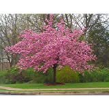 Kwanzan Flowering Cherry Tree 5 gallon