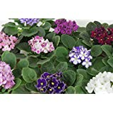 African Violet Variety Pack (4 Assorted Plants) (4