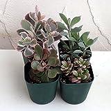 多肉植物:寄せ植え用(紅葉タイプ)3号ポット4株アソートセット