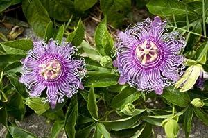 MAYPOP PURPLE PASSION FLOWER PLANT (PASSIFLORA INCARNATA)