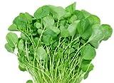 WATERCRESS SEEDS - Nasturtium - 500 seeds