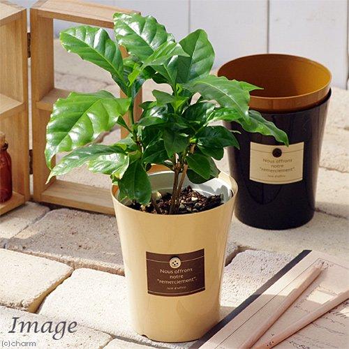 (観葉)コーヒーの木 3.5号エスプレッソ鉢(1鉢)