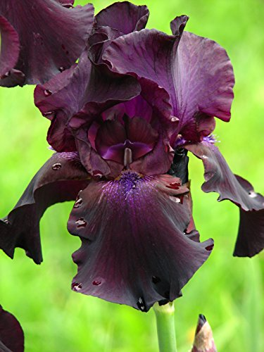 2 Superstition Iris Plants