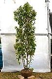 常緑ヤマボウシ(ホンコンエンシス)株立 2.0~2.4m程度(根鉢含まず)