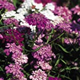 Suttons Seeds 107612 Candytuft Fairy Mix Seed