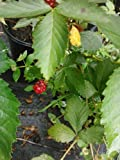 Issai Morus Alba Dwarf Mulberry, Fast Growing, Dwarf Mulberry (Liner), Hydrangeas Shrub, Evergreens, Gardenia
