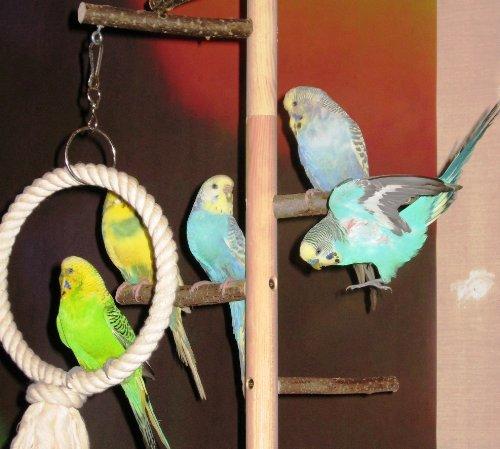 Zimmerhoher-Kletterbaum-HiFly-Basic-Wahnsinns-Vogelspielplatz-zum-Aufhngen-von-Vogelspielzeug