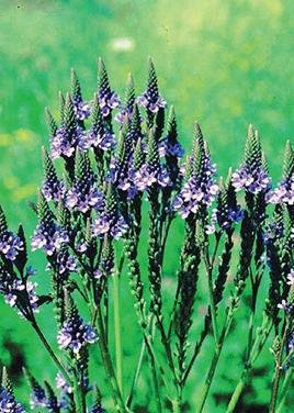 Blue Vervain Seed