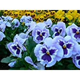 Pansy Flower Seeds - Light Blue With Face Seeds Pack By Raunak Seeds X 10 Packets Combo
