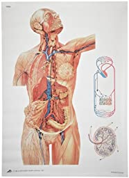 3B Scientific V2054U The Lymphatic System Anatomical Chart, without Wooden Rods, Oversize Poster, 33.1\