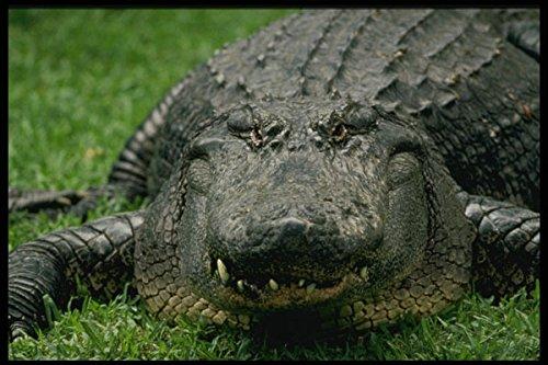 448087-american-alligator-at-busch-gardens-a4-photo-poster-print-10x8