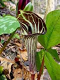 5 JACK IN THE PULPIT (Brown Dragon) Arisaema Triphyllum Flower Seeds
