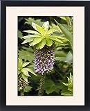 Framed Print of Pineapple Flower / Lily