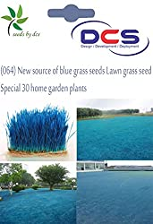 DCS (064) New source of blue grass seeds Lawn grass seed Special 30 home garden plants