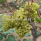 Mixed 100 Seeds/pack Grape Fruit Seed Seed Fruit Tree Seedlings Potted Seedlings Kyoho Grape Seed Red Mention...