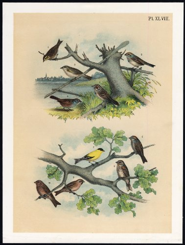 Antique Print-CANADIAN SPARROW-AMERICAN GOLDFINCH-LINNET-BUNTING-Jasper-1878