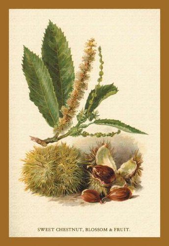 Sweet Chestnut Blossom & Fruit