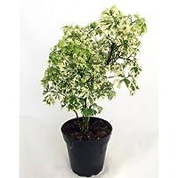 Hirt's 'Snowflake' Ming Aralia Pre-Bonsai Tree - Polyscias fruticosa - Indoor - 4