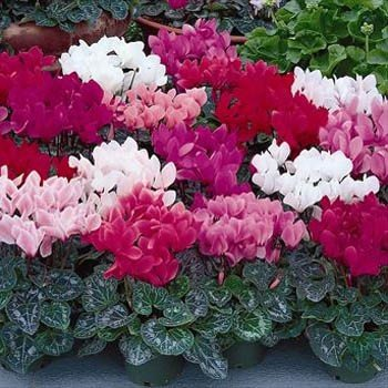 The Best Indoor Plants - Cyclamen
