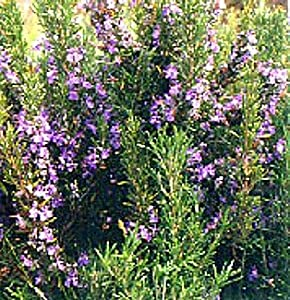 Rosemary Plant - Great Gift for Indoors or Out - Makes Good Scents