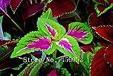2016プロモーション!100個/袋虹龍コリウスの種子、美しい花、植物、バルコニー鉢植え盆栽の混合色