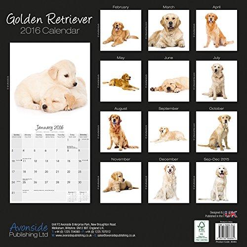 Golden Retriever Studio Calendar 2016