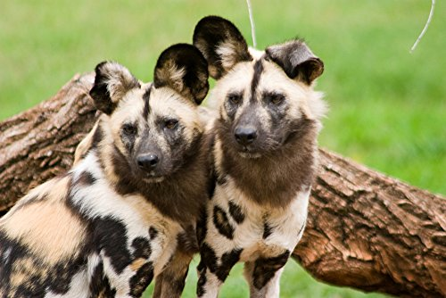 African Wild Dogs (12x18 Art Print, Wall Decor Travel Poster)